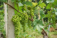 Green grapes on a vine stock images