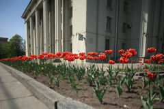 Midday tulips Royalty Free Stock Photo
