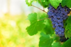 Midday in vineyard Royalty Free Stock Image
