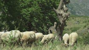 Middelgrote dichte omhooggaand, schapen die op berggebieden weiden stock footage