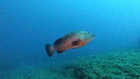 Middellandse Zee het leven - swimmin van Tandbaarsvissen alleen in een ertsader stock video