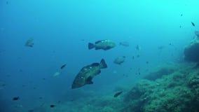 Middellandse Zee het leven - Tandbaarsvissen die samen in een ertsader zwemmen stock footage