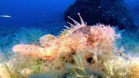 Middellandse Zee mariene het levensscorpionfish die in een ertsader rusten stock footage