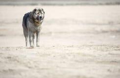 Midden Aziatische herdershond royalty-vrije stock afbeeldingen