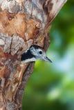 Midden bevlekte specht onervaren bij nest Royalty-vrije Stock Afbeelding