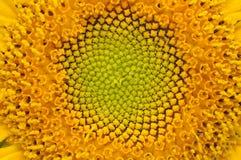 Midden van de Close-up van de Zonnebloem Royalty-vrije Stock Afbeeldingen