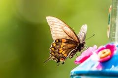 Midden Vrouwelijke Tijger Swallowtail Royalty-vrije Stock Afbeelding