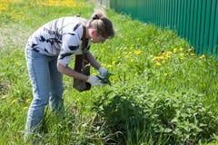 Middenleeftijdsvrouw die blad van verse netel op de lenteweide verzamelen met schaar in beschermende handschoenen stock foto's