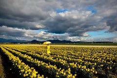 Middenleeftijdsvrouw die met gele paraplu op gele narcisgebieden lopen in volledige bloei Stock Fotografie