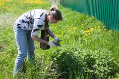 Middle age woman gathering leaf of fresh nettle on spring meadow with scissors in protective gloves. Middle age European woman gathering leaf of fresh nettle on Stock Photos