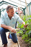 Middle Aged Couple Looking After Tomato Plants In Greenhouse Stock Photography