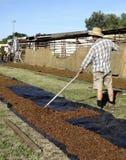 Middle-aged Farmhand Raking Dried Sultanas. Stock Photos