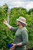 A middle aged male picking raspberries Stock Images