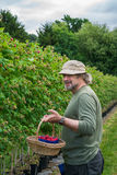 A middle aged male picking raspberries Stock Image