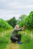 A middle aged male picking strawberries. On a fruit farm Stock Image