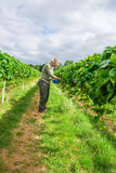 A middle aged male picking strawberries. On a fruit farm Royalty Free Stock Images