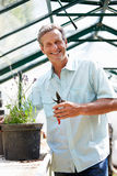 Middle Aged Man Working In Greenhouse Royalty Free Stock Image