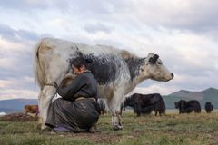 Mongolian woman milking a yak in northern Mongolia. Middle aged Mongolian woman milking a black and white colored yak in northern Mongolia. Khuvsgol, Mongolia royalty free stock photo