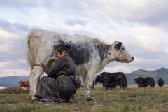 Mongolian woman milking a yak in northern Mongolia. Royalty Free Stock Photo