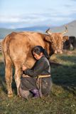 Mongolian woman milking a cow in northern Mongolia. Royalty Free Stock Photo