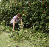Middle-aged Woman Gathering Hibiscus Cuttings In G Royalty Free Stock Images