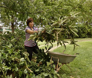 Middle-aged Woman Lifting Plant Cuttings Out  Royalty Free Stock Photography