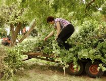 Middle-aged Woman Moving Plant Cuttings On Trailer Royalty Free Stock Photos