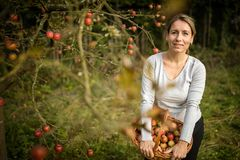 Cute young woman picking apples in an orchard stock photo