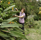 Middle-aged Woman Pruning Shrubs With Secateurs. Middle-aged woman prunes a hibiscus shrub with long armed secateurs. A wheelbarrow full of cuttings is behind Royalty Free Stock Images