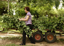 Middle-aged Woman Putting Plant Cuttings On Trailer Stock Image
