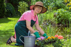 Middle-aged woman working in her garden. Middle-aged woman working in her garden kneeling on the lush green spring lawn transplanting potted flowers into a stock images