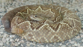 Middle american rattle snake or central american rattle snake or crotalus simus Stock Image
