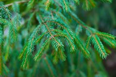 Macro shot of a Christmas tree branch with a soft blurred background stock images