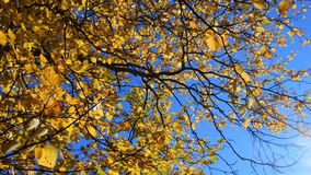 All the leaves turned yellow at the birch. Middle autumn. All the leaves turned yellow at the birch. Shooting against a blue sky stock video footage