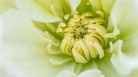 Middle of beautiful flower white green clematis close-up, macro, shallow depth of field Stock Photos