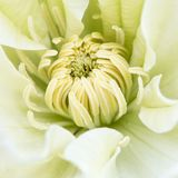 Middle of beautiful flower white green clematis close-up, macro, shallow depth of field Royalty Free Stock Photography