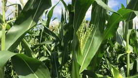 In middle of a cornfield. Corn field corn motion farm. Green grass agriculture.