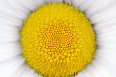 Middle of Daisy (Camomile) Flower Macro royalty free stock image