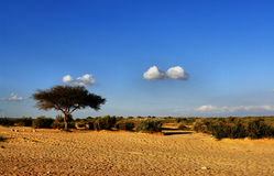 Middle-East. Acacia tree in the desert of Israel Stock Images