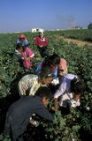 MIDDLE EAST SYRIA ALEPPO COTTON PLANTATION Royalty Free Stock Photography
