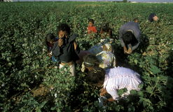 MIDDLE EAST SYRIA ALEPPO COTTON PLANTATION. Childern earning cotton on a Cotton Plantation near the city of Aleppo in Syria in the middle east royalty free stock photo