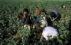 MIDDLE EAST SYRIA ALEPPO COTTON PLANTATION. Childern earning cotton on a Cotton Plantation near the city of Aleppo in Syria in the middle east stock photo