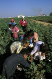 MIDDLE EAST SYRIA ALEPPO COTTON PLANTATION Stock Photo
