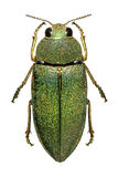Middle Eastern jewel beetle Royalty Free Stock Photos