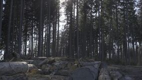 Middle of the forest and cuted tree logs, lying in the shade of the spruce trees