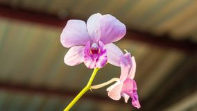 Blooming of beautiful orchids during sunset stock images