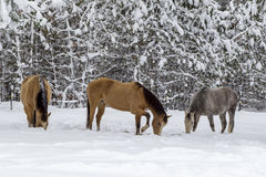Middle horse scrapes away snow. Royalty Free Stock Images