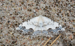 Middle lace border, Scopula decorata resting on sand. The middle lace border, Scopula decorata is a moth of the Geometridae family. It can be found in Europe royalty free stock image