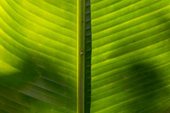 Middle of the Palm leaf texture. As background Stock Photography