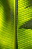 Middle of the Palm leaf texture. As background Royalty Free Stock Images